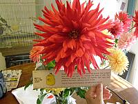 The BarryZone Dahlias